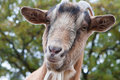 Billy goat portrait close up of a curious Royalty Free Stock Photos