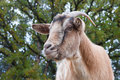 Billy goat portrait close up of a curious Stock Photography
