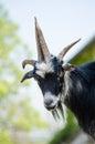 Billy goat portrait head of majestic animal Stock Photography