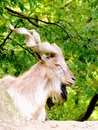 Billy goat a precious close up of a Stock Photography