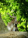 Billy goat relaxing on a rock good shot Stock Photography