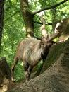 Billy goat on the rocks a a rock Stock Photo