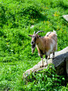 Billy goat standing on a rock in an alpine environment Stock Photo