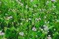 Billygoat weed field of chick goatweed whiteweed the little violet flower Stock Photos