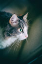 Binnenlandse cat staring Stock Afbeelding