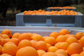 Bins of freshly picked oranges Stock Photo