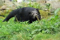 Binturong the adult strolling in the grass Royalty Free Stock Photos
