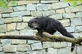 Binturong the adult on the wood Stock Images