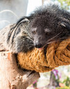 Binturong bearcat or arctictis Royalty Free Stock Photo