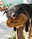 Binturong bearcat or arctictis Stock Image