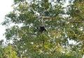 Binturong or bearcat arctictis binturong beautiful also known as at khao yai national park thailand Royalty Free Stock Images