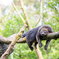 Binturong bearcat sleeping wild on tree Royalty Free Stock Photos