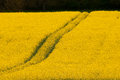 bio-fuel crop of rape seed oil Royalty Free Stock Photo