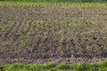 Bio home garden with green garlic plantation Royalty Free Stock Photo