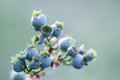Biologic ripened blueberries of tuscany italy maremma spring agricuture Royalty Free Stock Image