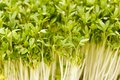 Biological garden cress close up of Stock Photos