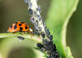 Biological Pest Control Royalty Free Stock Photo