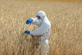 Biotechnology engineer on field examining ripe ears of grain Royalty Free Stock Photo