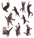 The biped cat Royalty Free Stock Photos