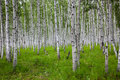 Birch Royalty Free Stock Image