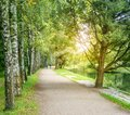 Birch alley in a park Royalty Free Stock Photo