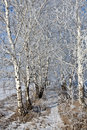 Birch alley on a sunny morning in february Stock Image