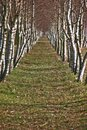 Birch alley of the trees Stock Photo