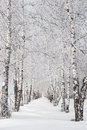 Birch alley in winter snow covered at sunny day Stock Photo