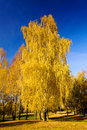 Birch (autumn) Royalty Free Stock Images
