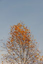 Birch. Autumn. Royalty Free Stock Photo