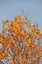 Birch. Autumn. Royalty Free Stock Photography