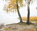 Birch on the bank of wood lake nature composition Royalty Free Stock Images