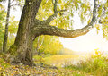 Birch on the bank of wood lake. Royalty Free Stock Photo