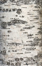 Birch bark texture Stock Image