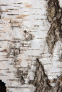 Birch bark texture as abstract background Royalty Free Stock Photo