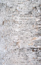 Birch bark texture a closeup detailed patch of Royalty Free Stock Images