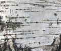 Birch bark texture natural background paper close-up / birch tree wood texture