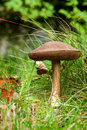 Birch bolete Royalty Free Stock Images