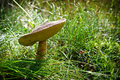 Birch bolete with dewdrop Stock Images