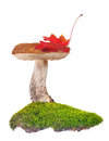 Birch bolete in green moss isolated on white background Royalty Free Stock Photography