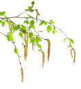 Birch branch Royalty Free Stock Photos