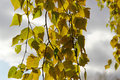 Birch branch autumn with yellow leaves Royalty Free Stock Photo