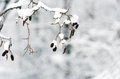 Birch branch and snow in a winter Stock Photos