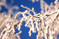 Birch branches with rime white on sunny day Stock Photos