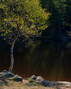 Birch on the coast of lake