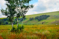 Birch in the field on a background of hills summer landscape with beautiful Royalty Free Stock Images