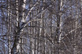 Birch  forest Stock Photos