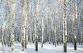 Birch forest with covered snow branches in sunlight Royalty Free Stock Photo