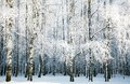 Birch forest with covered snow branches Royalty Free Stock Photo