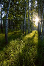 Birch forest in the morning Royalty Free Stock Photo